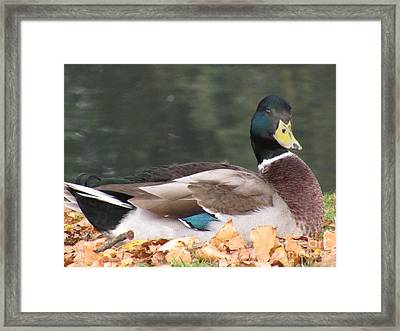 A Handsome Mallard Framed Print