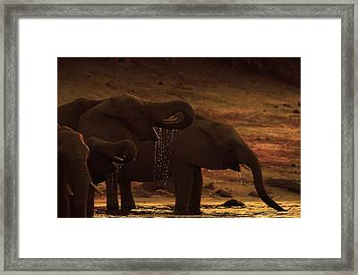 A Herd Of African Elephants  On The Banks Of The Chobe River In Botswana Drinkin Framed Print by Peter Nowell