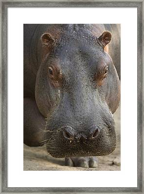A Hippopotamus At The Sedgwick County Framed Print by Joel Sartore