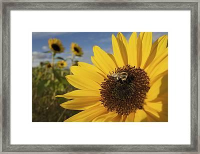 A Honey Bee Visiting A Sunflower Framed Print by Tim Laman