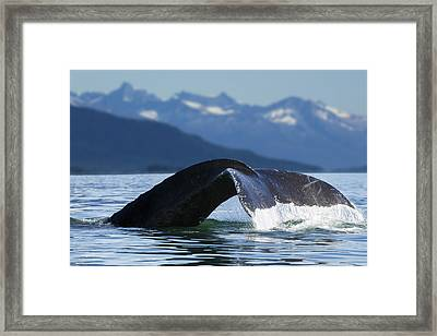 A Humpback Whale Lifts Its Flukes Framed Print by John Hyde