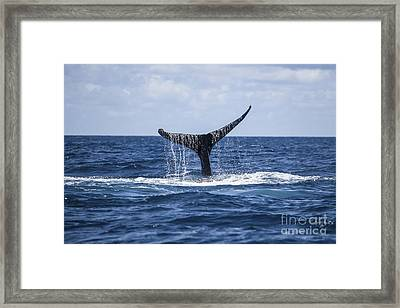A Humpback Whale Raises Its Tail Framed Print