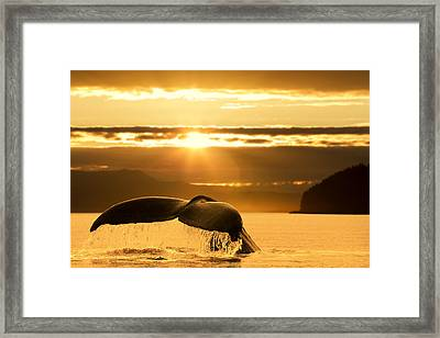 A Humpback Whale Returns To The Depths Framed Print by John Hyde