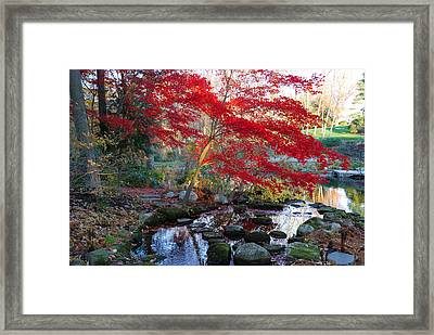 A Japanese Maple With Colorful, Red Framed Print by Darlyne A. Murawski
