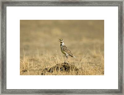 A Juvenile Western Meadowlark Framed Print