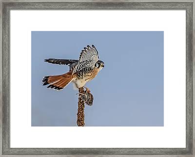 A Kestrel A Day Framed Print by Dawn Key