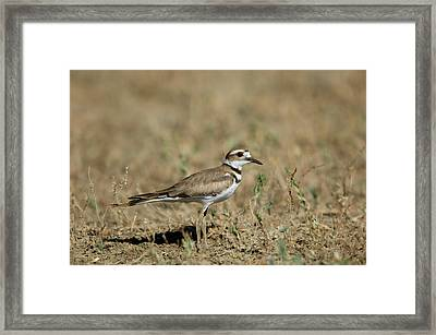 A Killdeer In Eastern Montana Framed Print by Joel Sartore