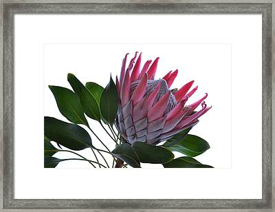 A King From Africa. Framed Print