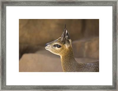 A Klipspringer At  The Henry Doorly Zoo Framed Print