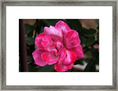 A Knockout Pink Framed Print by Paul Anderson
