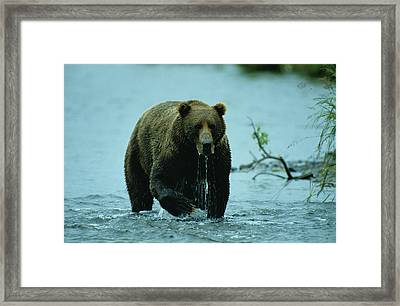 A Kodiak Brown Bear Ursus Middendorfii Framed Print by George F. Mobley