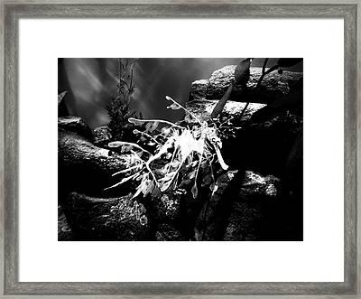 A Leafy Sea Dragon Framed Print by Rachel Morrison