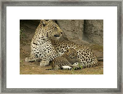 A Leopard Cub With Her Mother Framed Print by Beverly Joubert