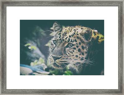 A Leopards Look Framed Print