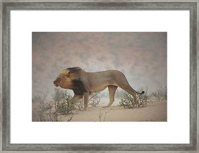 A Lion Pushes On Through A Gritty Wind Framed Print