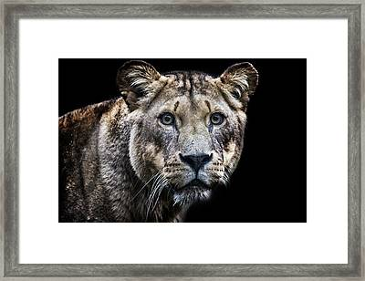 A Lions Stare Framed Print