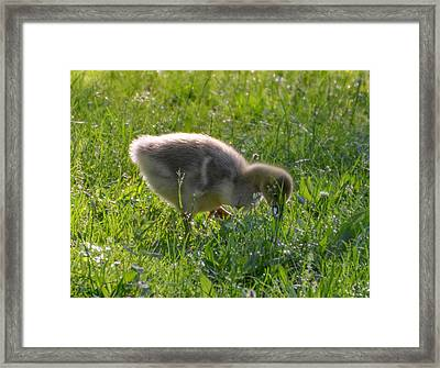 A Little Duckie Framed Print