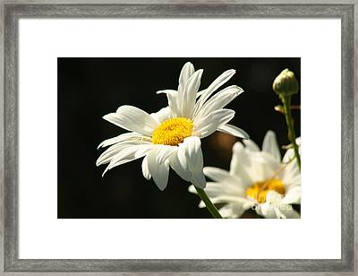 A Little Less Than Perfect Sunshine Daisy  Framed Print by Cathy  Beharriell
