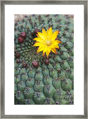 A Little Yellow Flower Framed Print by Tim Gainey