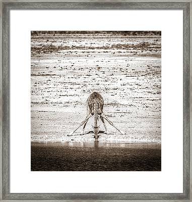 A Long Way To Go For A Drink - Black And White Giraffe Photograph Framed Print