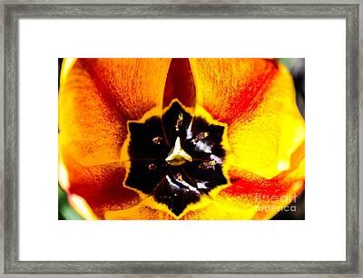 A Look Inside A Tulip  Framed Print