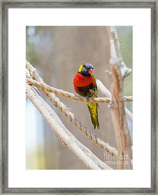 A Lorikeet From The Rainforest Framed Print by MaryJane Armstrong