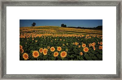 Sunflower Crop Framed Print