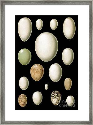 A Lovely Egg Collection Framed Print by The one eyed Raven