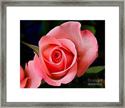 A Loving Rose Framed Print