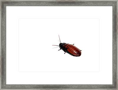 A Madagascar Hissing Cockroac Framed Print by Michael Ledray