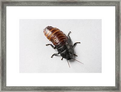 A Madagascar Hissing Cockroach Framed Print by Joel Sartore
