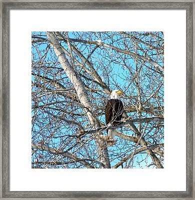 Framed Print featuring the photograph A Majestic Bald Eagle by Will Borden