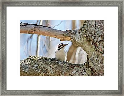 Framed Print featuring the photograph A Male Downey Woodpecker  1111 by Michael Peychich