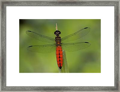 A Male Forest Chaser Dragonfly Rests Framed Print by Joe Petersburger
