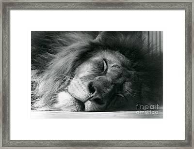 A Male Lion Sleeping Framed Print