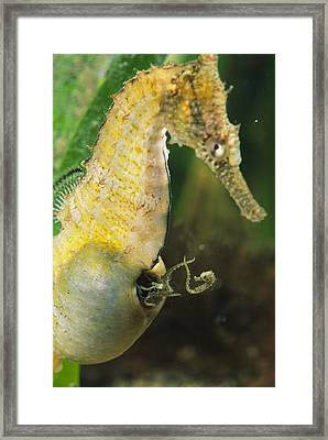 A Male Sea Horse With Young Emerging Framed Print by George Grall
