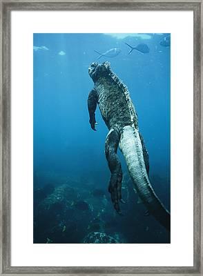 A Marine Iguana Swims Underwater Framed Print by Nick Caloyianis