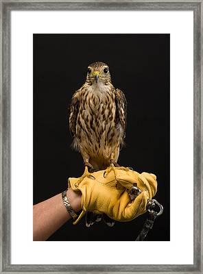 A Merlin Falco Columbarius Framed Print by Joel Sartore