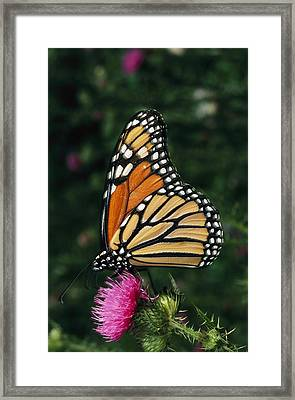 A Monarch Butterfly Sits On A Thistle Framed Print