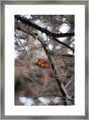 A Monarch For Granny Framed Print