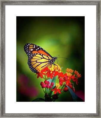 A Monarch In The Garden Framed Print by Mark Andrew Thomas