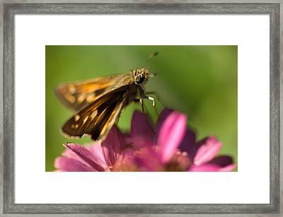 A Moth Feeds On A Zinnia Flower Framed Print