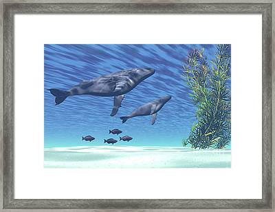 A Mother And Calf Humpback Whale Rise Framed Print by Corey Ford
