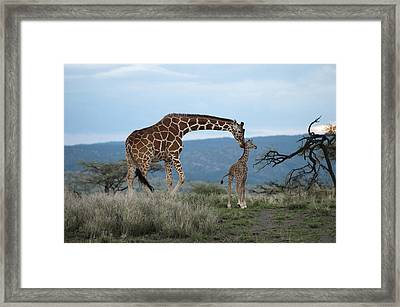 A Mother Giraffe Nuzzles Her Baby Framed Print by Pete Mcbride