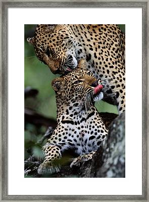 A Mother Leopard, Panthera Pardus Framed Print by Chris Johns