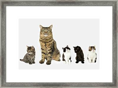 A Mother With Four Kittens All Sitting In A Row. Framed Print by Nicola Tree