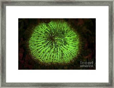 A Mushroom Coral Fluoresces As Uv Light Framed Print by Ethan Daniels