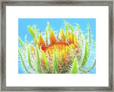 A New  Blanketflower Begins To Open Framed Print by Jim Hughes