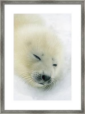 A  Newborn Harp Seal Pup In Its Thin Framed Print by Norbert Rosing