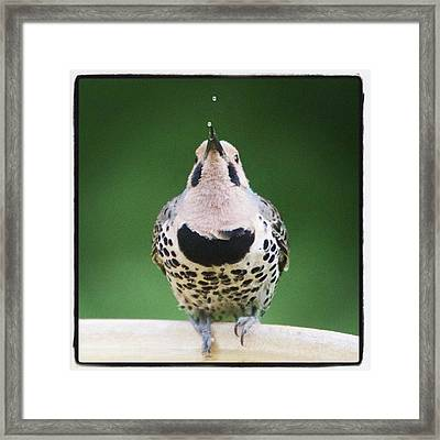 A Northern Flicker Blowing Bubbles At Framed Print by Heidi Hermes
